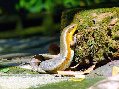 hispanica: lizard (Podarcis hispanica)