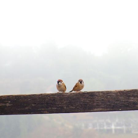 juvenile: Juvenile Song Sparrow Stock Photo