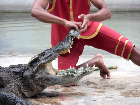 Person performing a stunt with alligator  photo