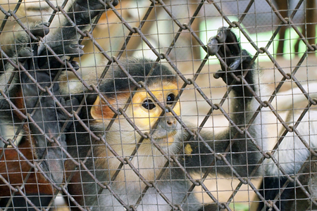 captivity: Sad Monkey in a cage