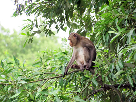 macaque monkey sitting on a tree in its natural habitat  photo