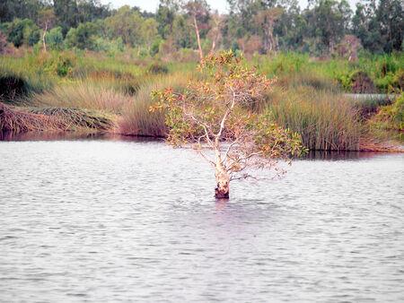 turba: Turba bosque pantanoso en Tailandia