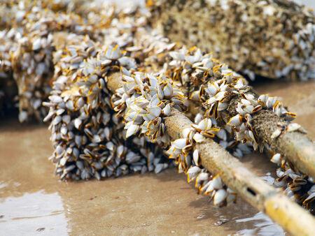 barnacles: Cirripedi Goose sul legname