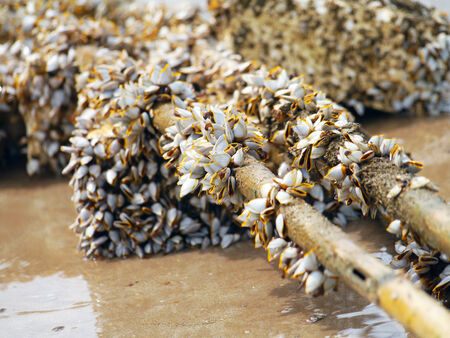 Goose barnacles on lumber photo