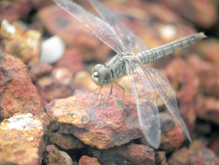 close up a dragonfly on the rock photo