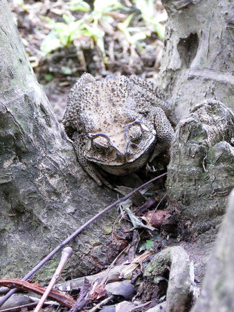 warts: the Camouflage of toad hide from enemy