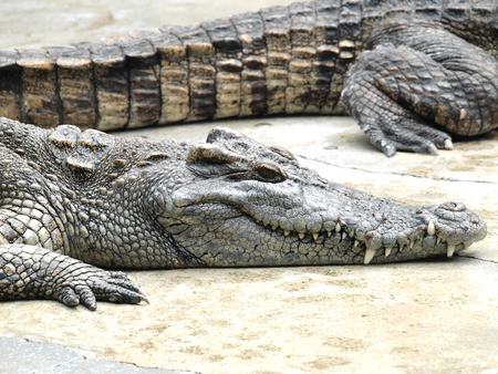 Crocodiles close up in Thailand photo