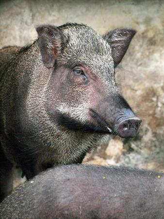 Caged wild hogs photo