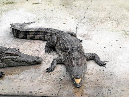 Crocodiles close up in Thailand Stock Photo