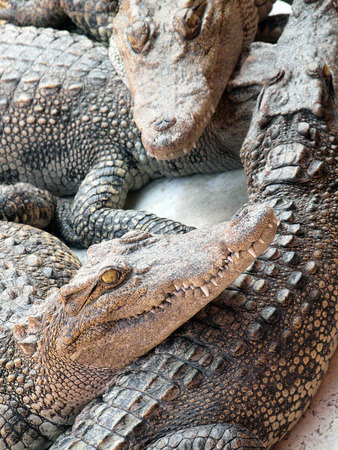 Crocodiles close up in Thailand photo