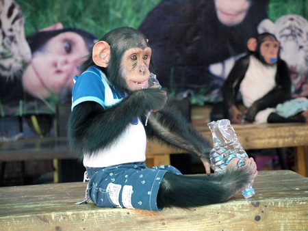 house trained: chimpanzee monkey in a cloth Stock Photo