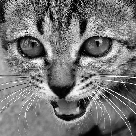 Closeup cat face (Black and white)  photo