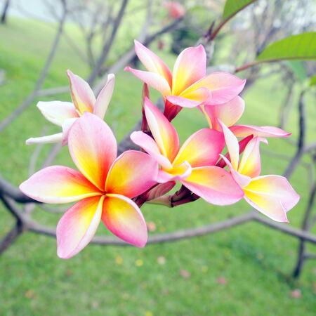 Frangipani flowers photo