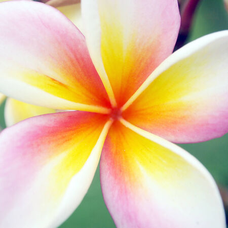 Close up frangipani flower photo
