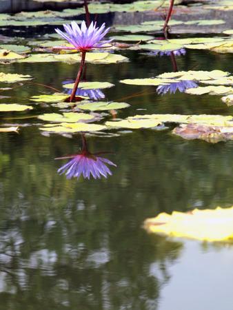 Beautiful lotus background photo