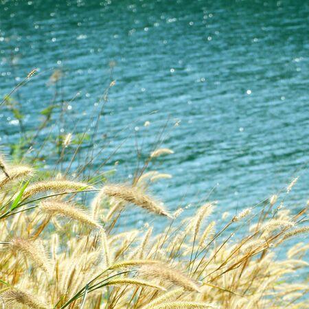 depending: Gold beard grass  Depending on the waterfront