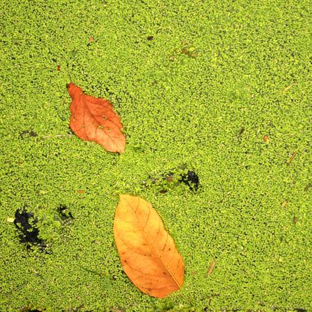 duckweed: leaf on amid Duckweed