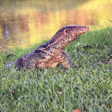 salvator: The Water monitor, (Varanus salvator) the large species of monitor lizard