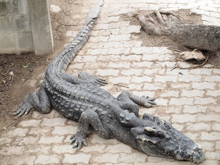 cruel zoo: Crocodiles close up in Thailand Stock Photo
