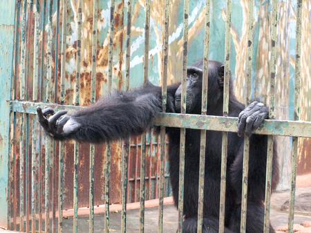couching: Monkey in a cage Stock Photo
