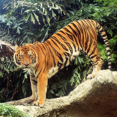 Royal bengal tiger Standard-Bild