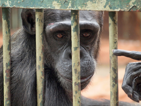 couching: Chimpanzi in a cage