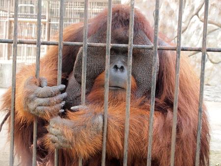 Orangutan in a cage