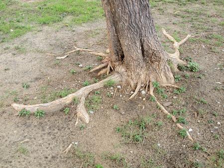 foret sapin: arbre de la for�t avec des racines