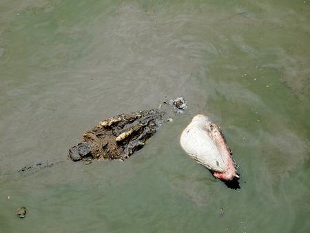 cruel zoo: Battle Crocodiles close up in Thailand