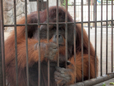 couching: Orangutan in a cage