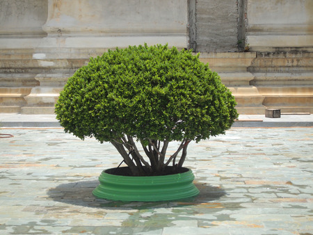 decorates: Small topiary tree in the pot decorates the park Stock Photo