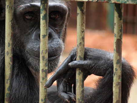 Chimpanzee in a cage