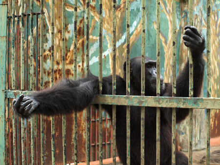 couching: Chimpanzee in a cage
