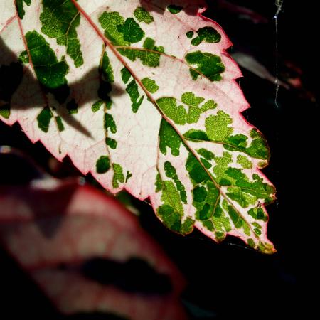 limetree: leaf  glowing in sunlight Stock Photo