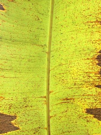 old banana leaf background Stock Photo
