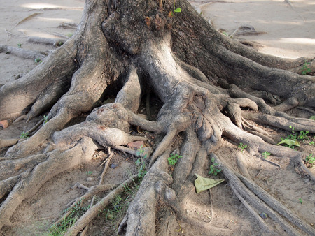 foret sapin: Forest tree with roots Banque d'images