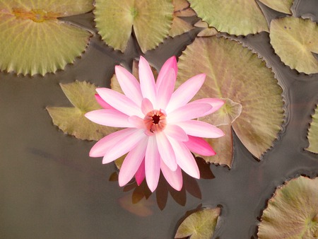 anklet: Lotus flower and leaf lotus. Stock Photo