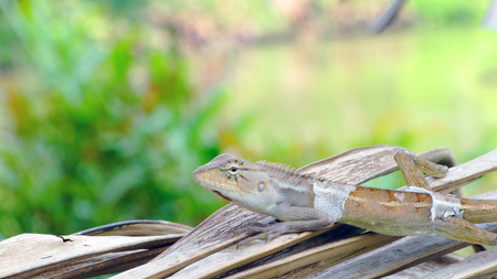 molting: Molting chameleon