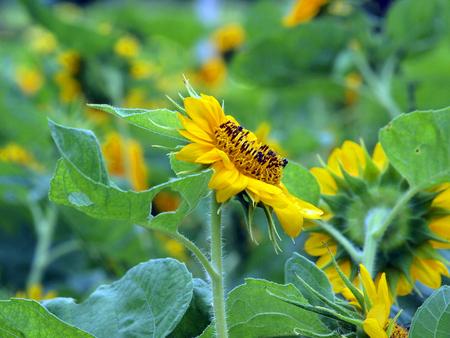 stamen wasp: beautiful yellow Sunflower Stock Photo