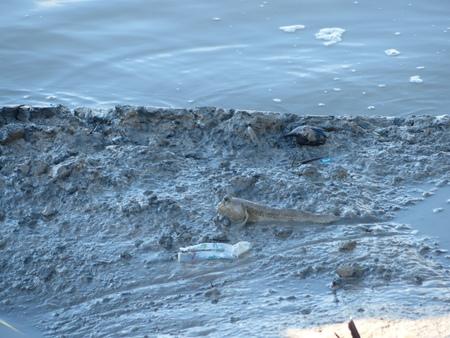 animals amphibious: mudskipper amphibious fish