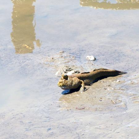 mudskipper: mudskipper amphibious fish