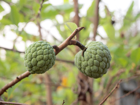 sweetsop: Sugar Apple (custard apple, Annona, sweetsop) Stock Photo