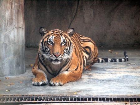 royal: Royal bengal tiger Stock Photo