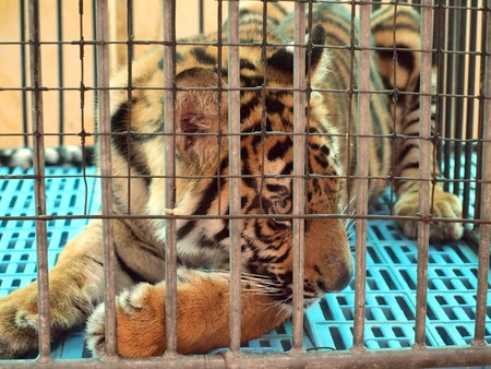 royal: Royal Bengal tiger