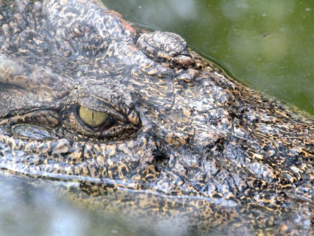 niloticus: Crocodile Eyes Detail Close Up