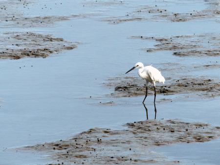 The Little Egret (Egretta garzetta) walking to find some food