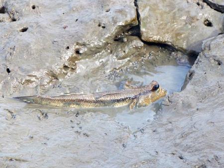 lungfish: Mudskipper or Amphibious fish Stock Photo
