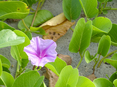 pes caprae: Ipomoea pes-caprae are blooming on the beach Stock Photo