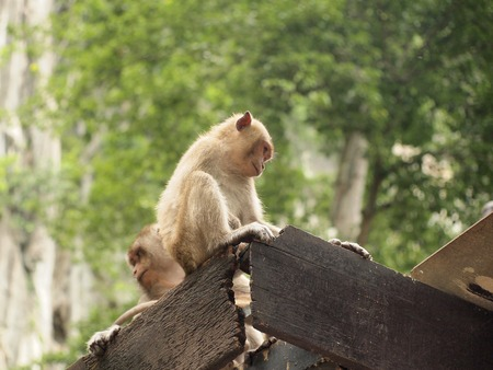 Thinking monkey closeup