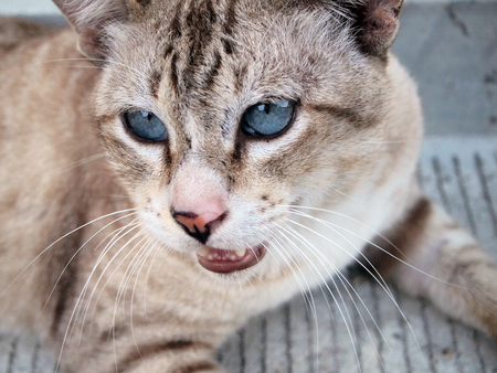 brown cat threateningly opened mouth
